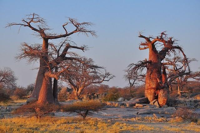 Baobab tree madagascar