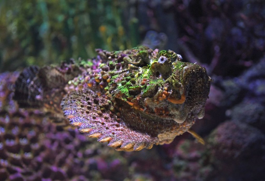 Indicates camouflage of a stone fish in orange and purple background