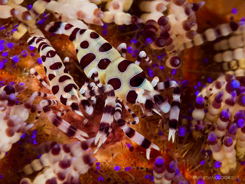 coleman-shrimp camouflage