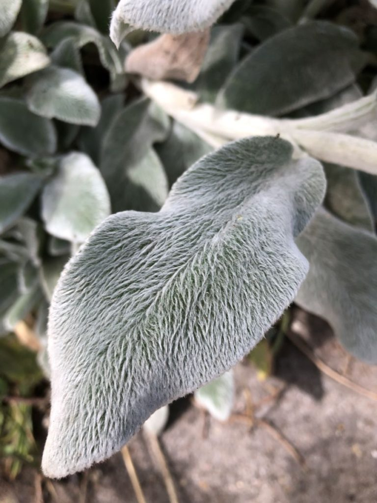 Wooly evergreen to show one of the way plants protect themselves.